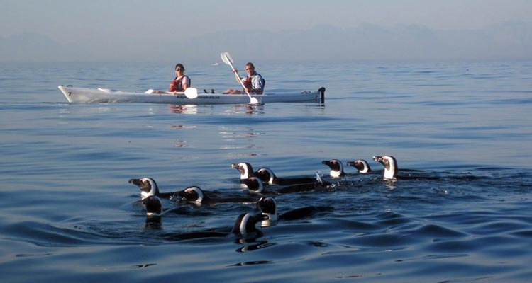 Kayak with the penguins in Simon's Town